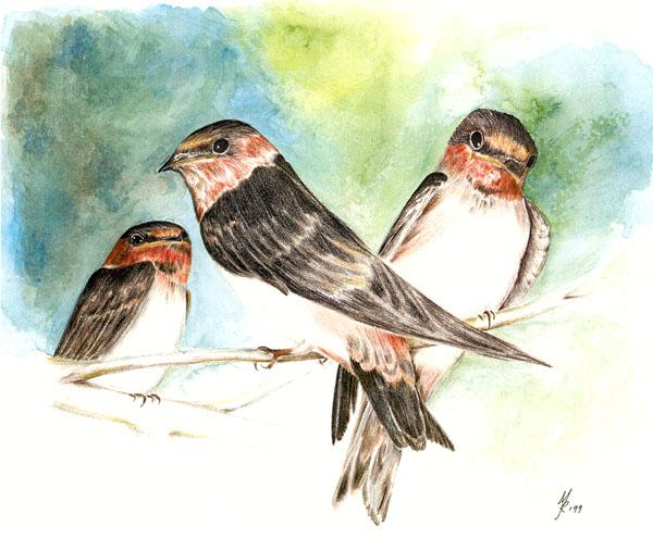 """Cliff Swallows"""