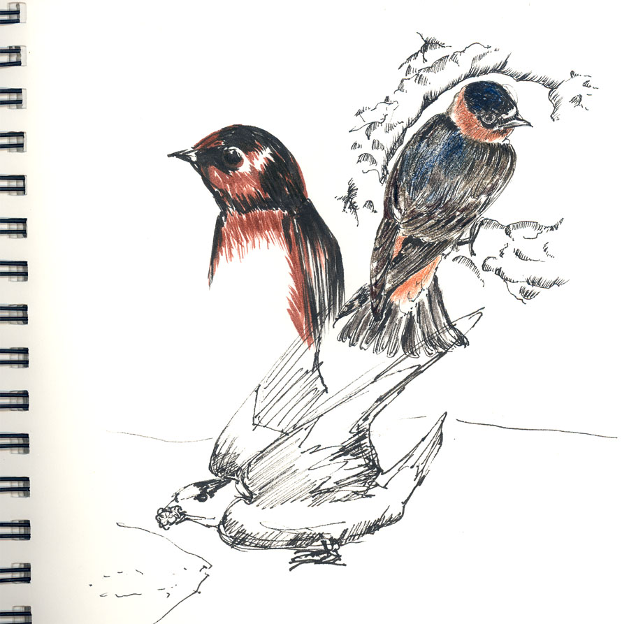 """Cliff Swallow"" sketch"