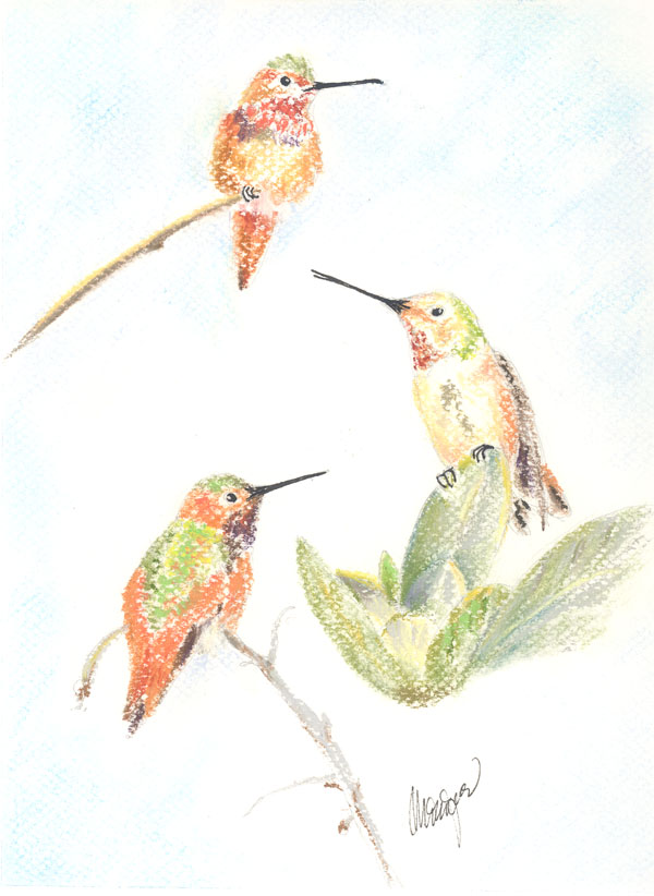 """Allen's Hummingbirds"""