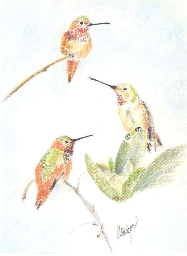 """""""Allen's Hummingbirds"""""""